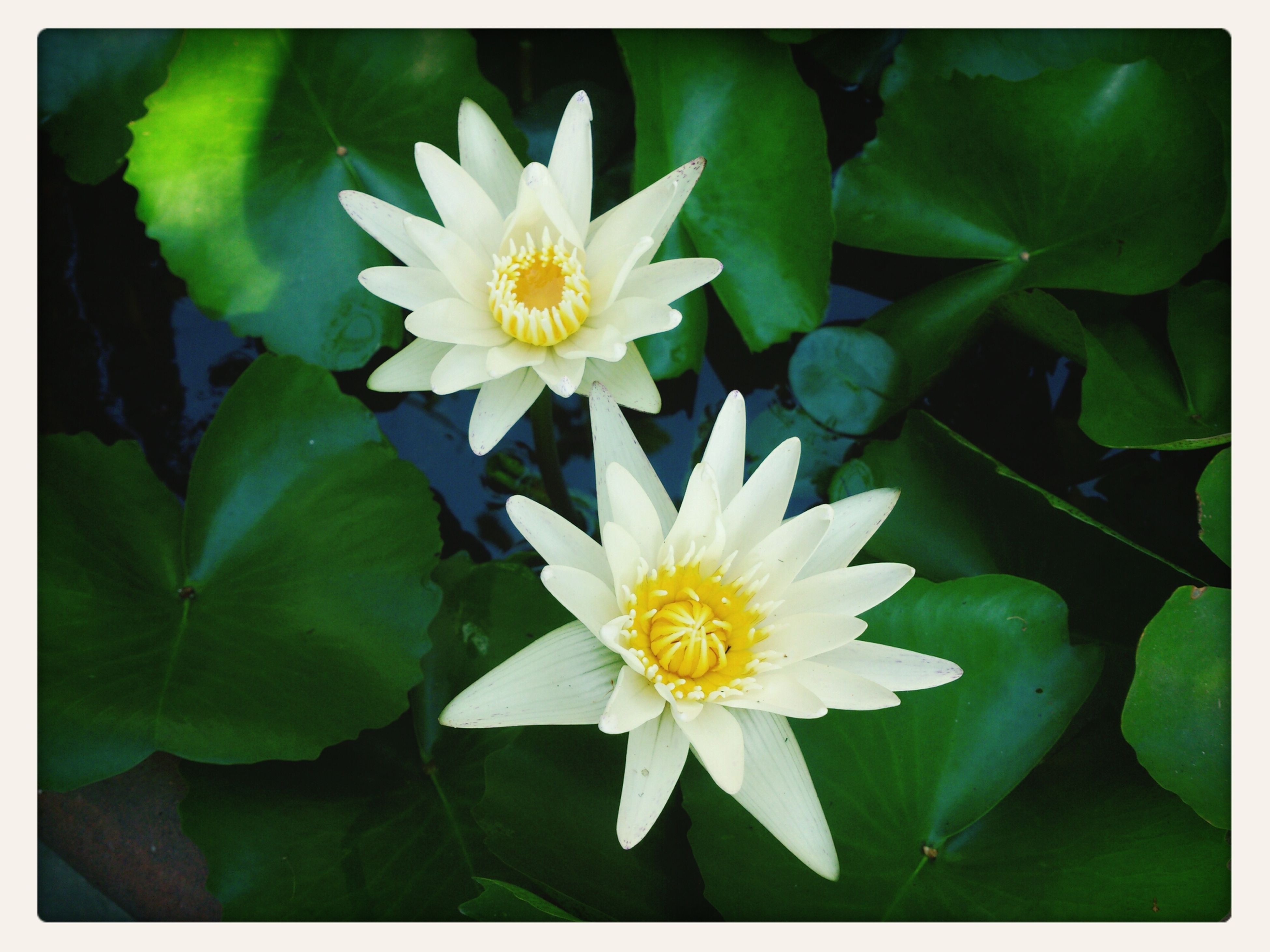 transfer print, flower, petal, freshness, flower head, fragility, auto post production filter, white color, growth, leaf, beauty in nature, yellow, blooming, plant, high angle view, nature, close-up, pollen, green color, water lily