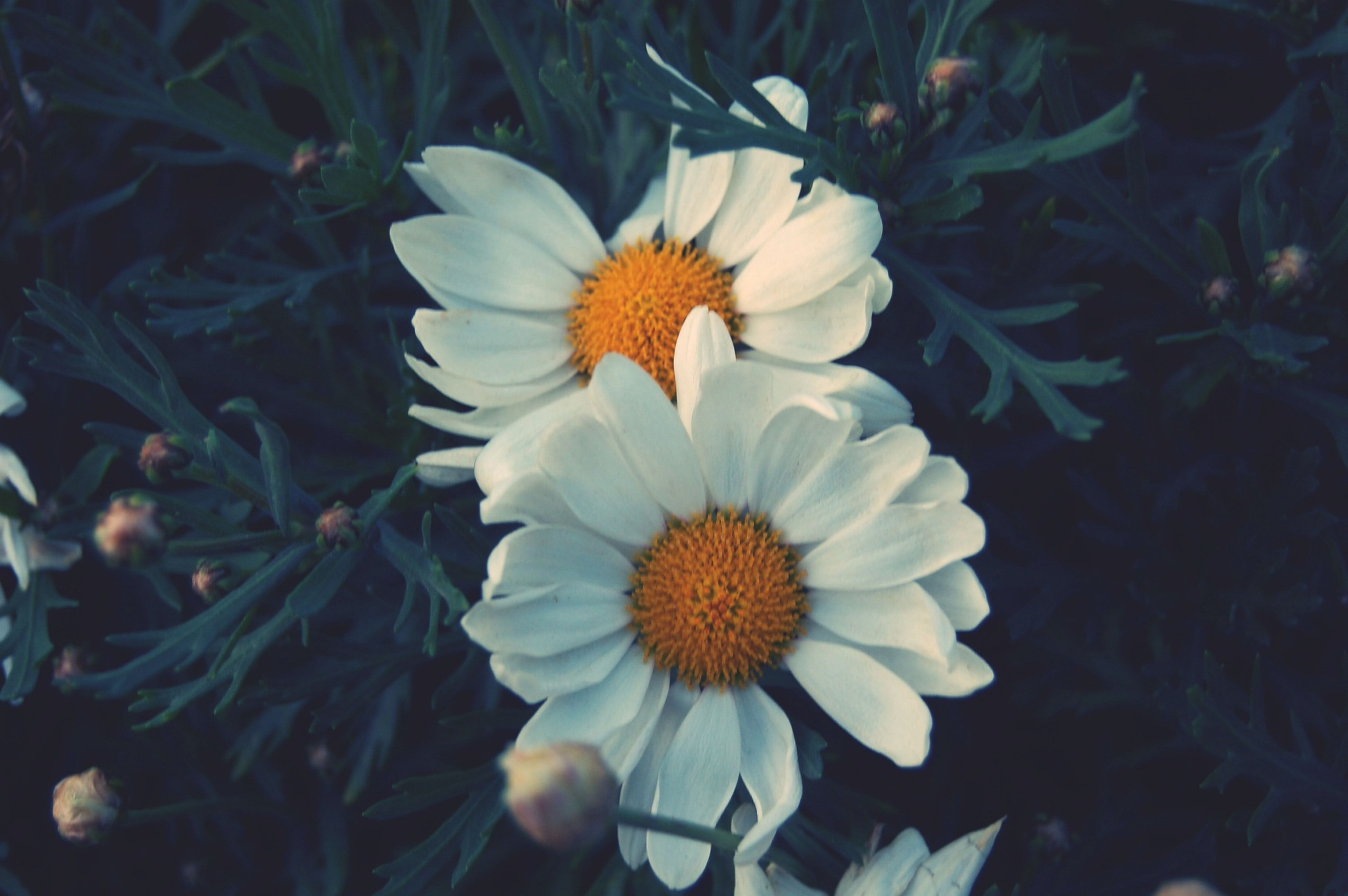 flower, petal, fragility, freshness, flower head, growth, blooming, white color, beauty in nature, plant, high angle view, nature, field, pollen, daisy, close-up, in bloom, focus on foreground, day, outdoors