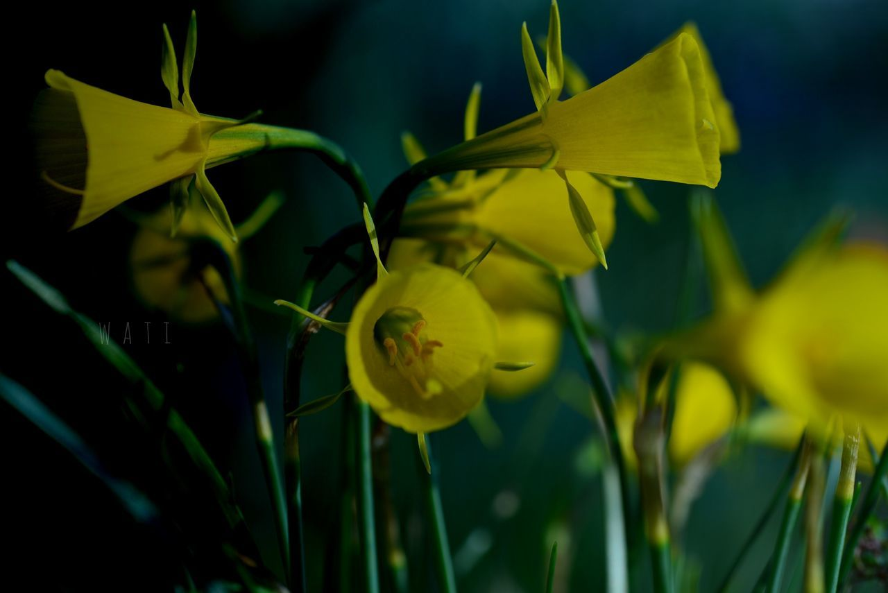 flower, growth, yellow, petal, nature, plant, beauty in nature, fragility, no people, selective focus, freshness, close-up, outdoors, flower head, day, blooming