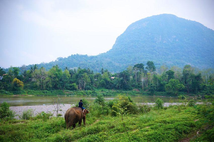 2017 Asian Elephant Beauty In Nature Elephant Field Grass Growth Landscape Laos Luang Phabang Luang Prabang MAHOUT LODGE Mammal Mekong River Mountain Nature Outdoors Scenics Sky Tree Water World Heritage ラオス ルアンパバーン 象