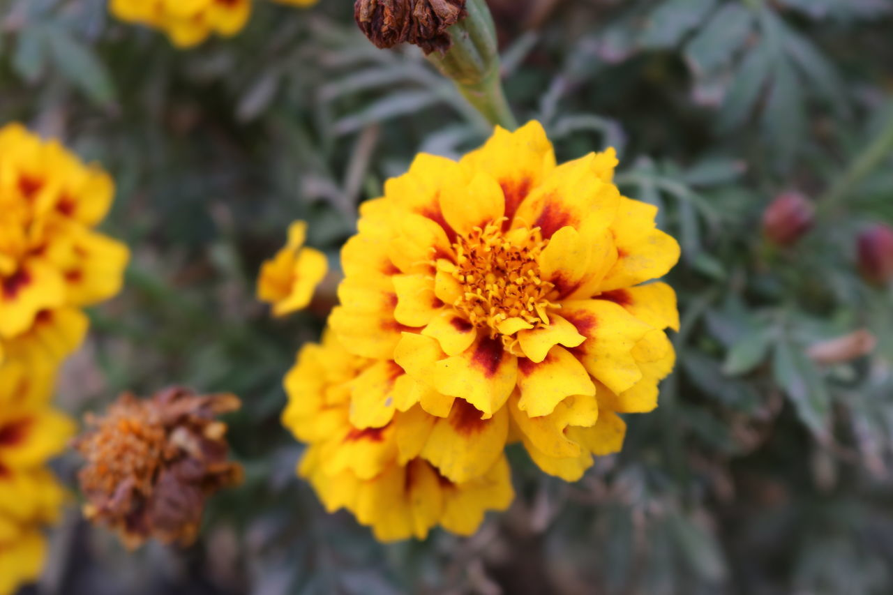 flower, yellow, fragility, beauty in nature, petal, freshness, nature, growth, flower head, outdoors, close-up, plant, no people, marigold, day, blooming