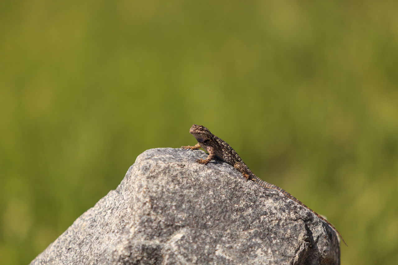 Brown common fence lizard, Sceloporus occidentalis, perches on a rock with a green background in Southern California. Animal Themes Fence Lizard Nature Outdoors Reptile Saurian Sceloporus Occidentalis Side Blotched Lizard Wildlife