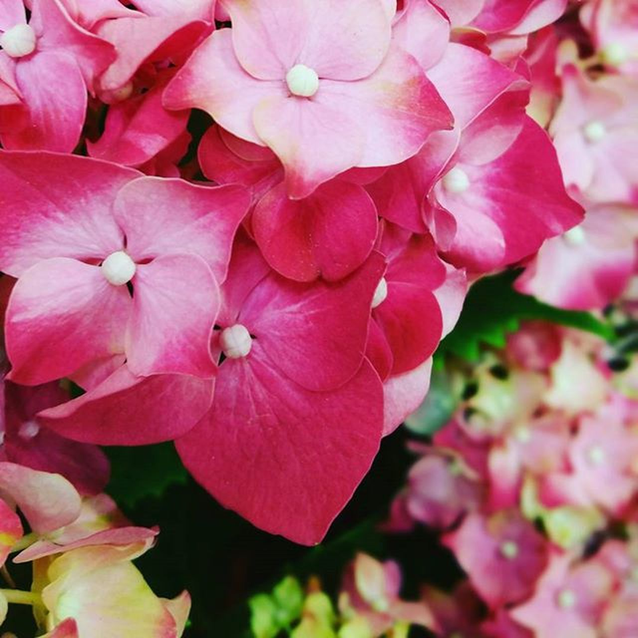 flower, petal, pink color, growth, flower head, beauty in nature, fragility, blooming, freshness, no people, close-up, nature, outdoors, plant, day, periwinkle