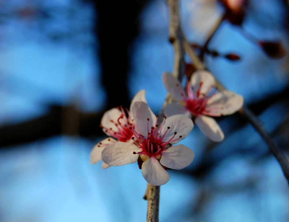 Flower Blossom Springtime Beauty In Nature Fragility No People Nature Flower Head Close-up Outdoors Freshness Tree Day Branch Pink Color Plum Blossom Growth Sky Near Focus Spring Bloom TheGreatOutdoors Greettheoutdoors Optoutside White Flowers