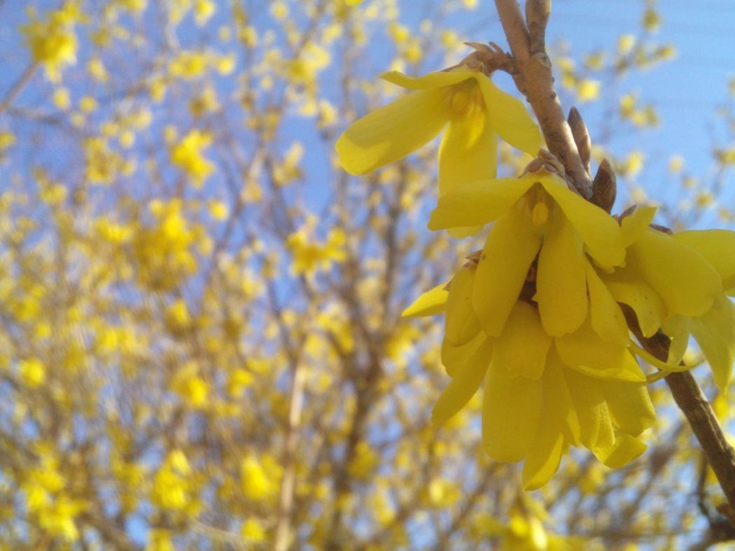 Taking Photos Yellow Flower Flowers, Nature And Beauty Yellow Bloom Blooming Tree May Showcase May Beauty In Nature 43 Golden Moments
