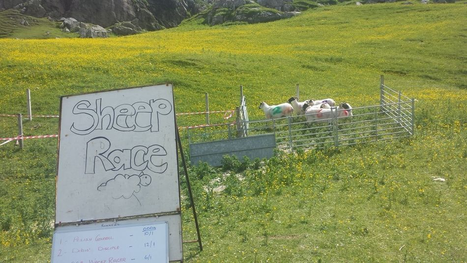 Uig gala day on the Isle of Lewis. The sheep race was a highlight Sheep Racing Stornoway Uig Scotland Happy Fun