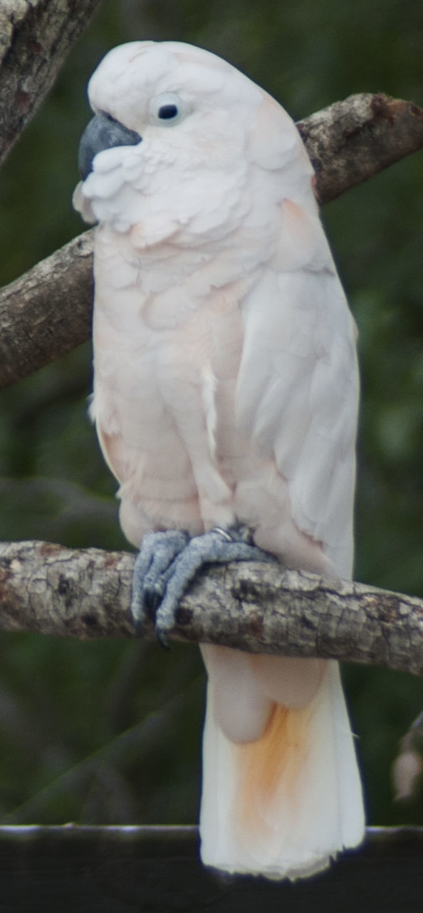 perching, bird, one animal, animal themes, cockatoo, parrot, branch, white color, no people, animals in the wild, outdoors, animal wildlife, day, close-up, nature, tree