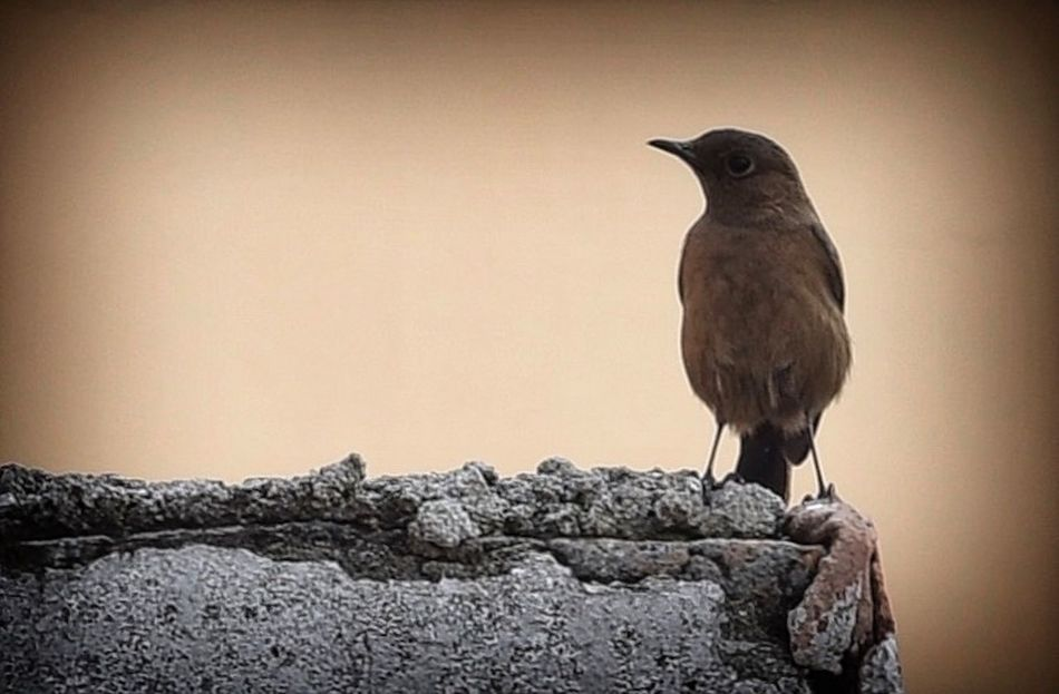 On the edge..... Adapted To The City Bird Photography Birds Birds Theme Concrete Wall
