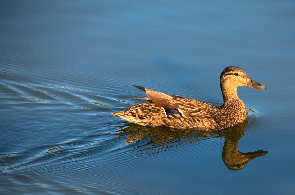 Beautiful stock photos of duck, Trail, animal Themes, animals In The Wild, beak