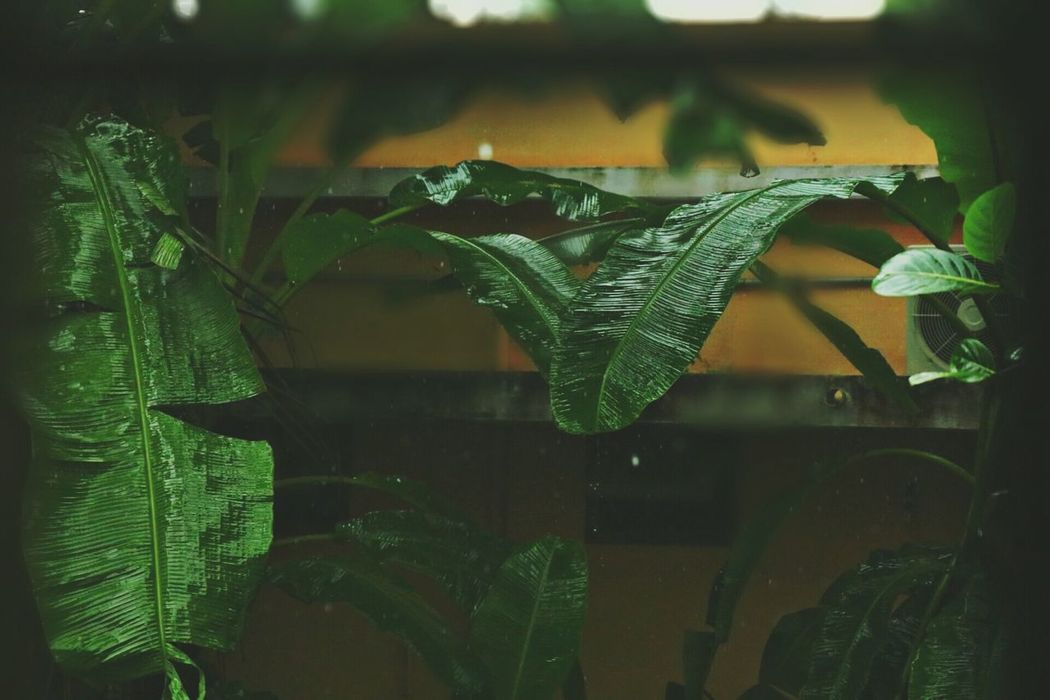 Leaf Plant Green Color Nature Growth No People Agriculture Outdoors Beauty In Nature Close-up Day Freshness Greenhouse Fragility Window Through Window Looking Through Window View Through Windows View Through View Through The Window Rain Raining Day Raining Outside. Raining Outside Raining