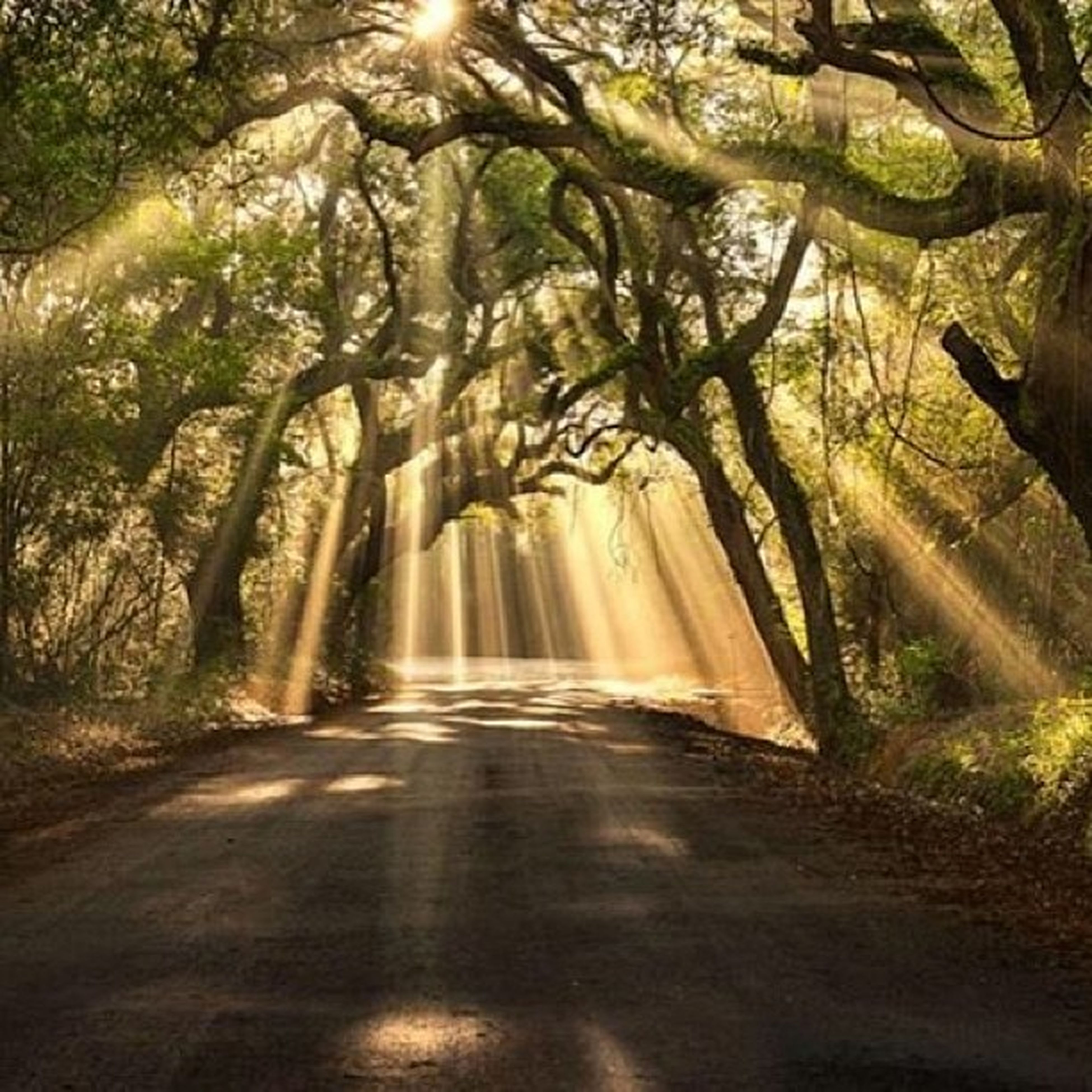tree, forest, the way forward, tranquility, sunlight, nature, tranquil scene, tree trunk, growth, beauty in nature, sunbeam, scenics, road, branch, woodland, day, non-urban scene, outdoors, no people, transportation