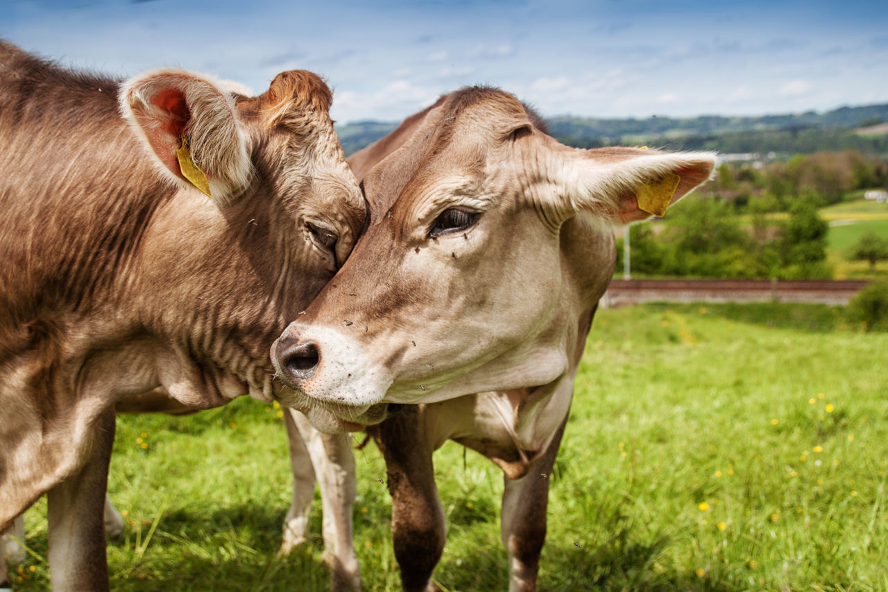 two cows hugs each other at green field Agriculture Animal Love Hug Love Animal Friendly Animal Themes Brown Countryside Cow Cows Domestic Animals Feelings Field Free Range Husbandry Free-range Husbandry Friendship Grass Livestock Meadow Nature Open Land Species-appropriate Switzerland Two Animals