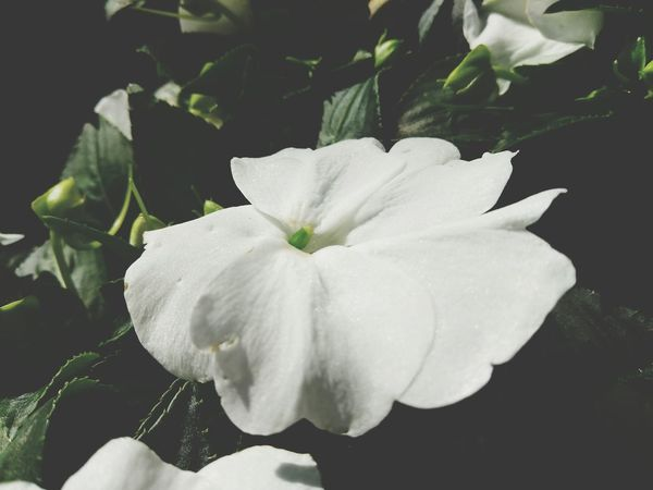 Dont be Impatiens... Flower Flower Head Petal Freshness Close-up Plant White Color Nature Growth Beauty In Nature Fragility Leaf Blossom No People Black Background Scented Outdoors Day Impatiens
