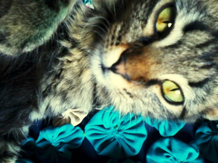 Pandora Cat♡ Lovecat  Gatosfelizes Bigbeautifuleyes