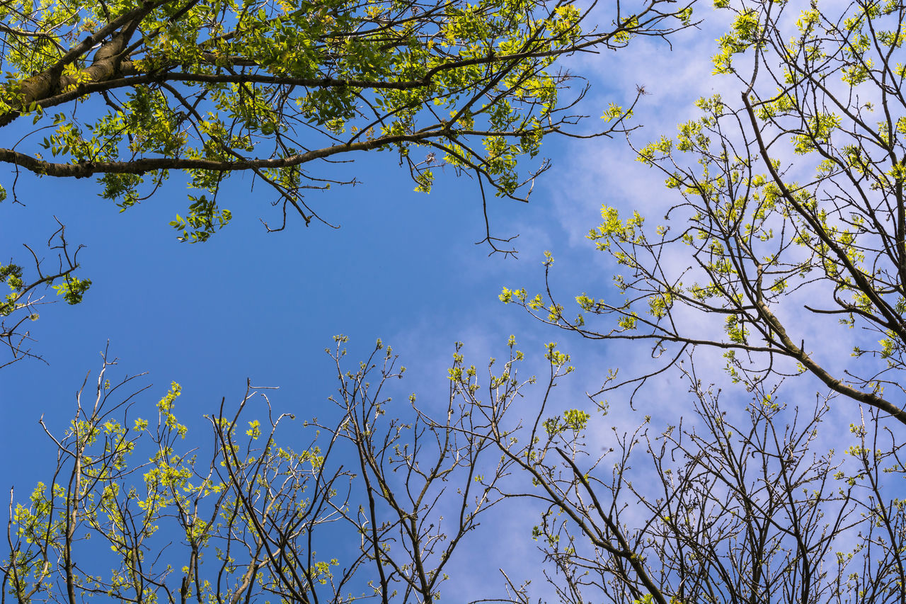 nature, branch, tree, beauty in nature, growth, blue, day, no people, outdoors, low angle view, blue sky, sky