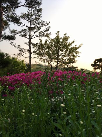 Beauty In Nature Flowers on a Hill Flowers In Sunset Pink And Green Nature Lover Pink Flowers Eyeem South Korea Flower Bush