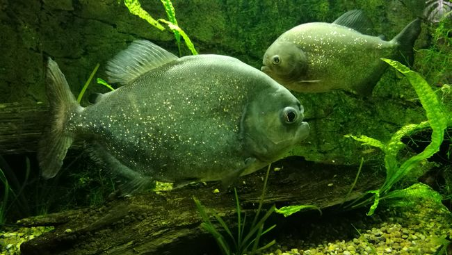 Piranhas Aquarium Life Animal Themes Fishes EyeEm Nature Lover EyeEm Best Shots Zoo Rostock--2016 Darwineum Beauty In Nature EyeEm Gallery Colour Of Life Color Palette Two Is Better Than One