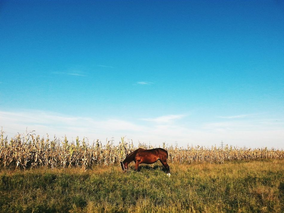 Animals Beautiful Animals  Horse Field Romania Nature_collection Nature Sky VSCO Countryside