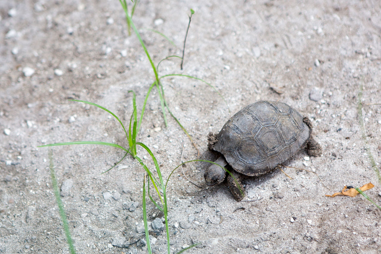 Animal Themes Animals In The Wild Baby Tortoise Close-up Day Giant Tortoise Nature No People One Animal Outdoors Tortoise Tortoise Shell