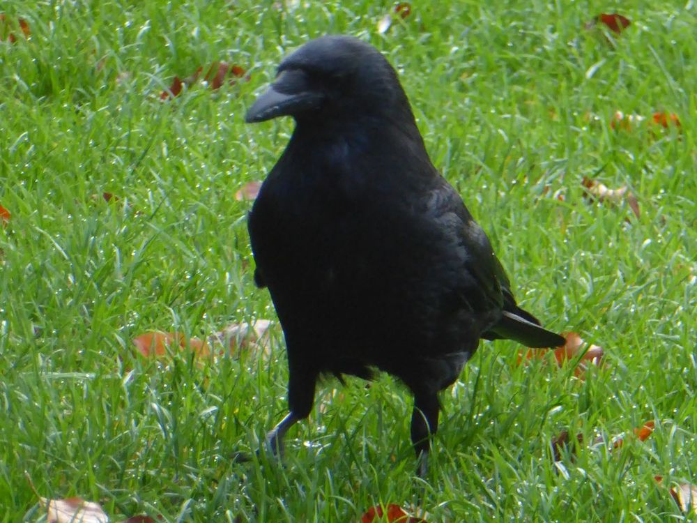 Crow Nature For My Eyeem Friends Naturelovers Animals In The Wild A Walk In The Park Close-up Animal Wildlife Raven - Bird Animals In The Wild Animal Themes Bird Hi! Relaxing Love Crows😍