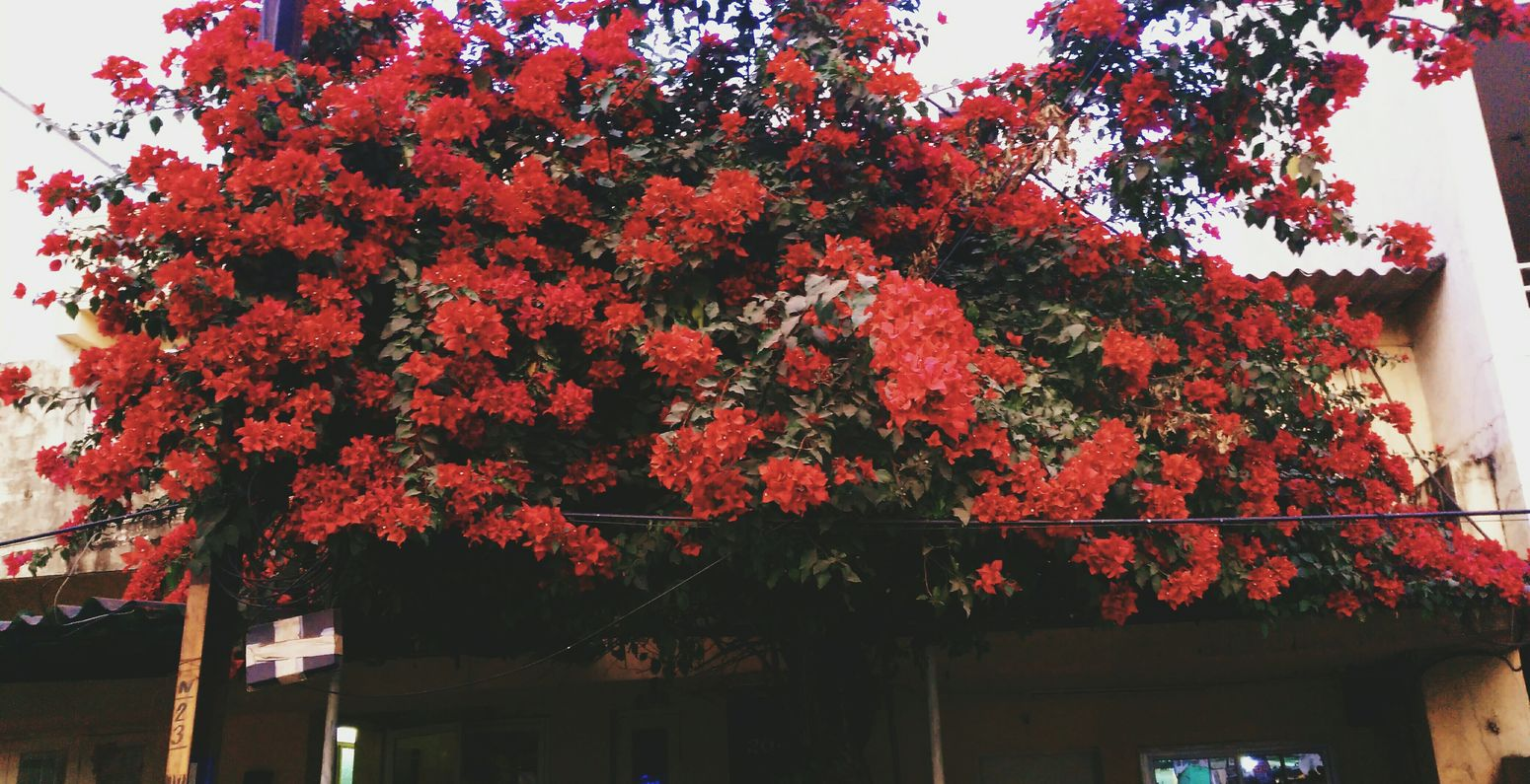 Flowers Red Tree Nature Growth No People Day Freshness Outdoors Beauty In Nature India Floweroftheday Traveling Home For The Holidays Flower Arrangement Sun ☀