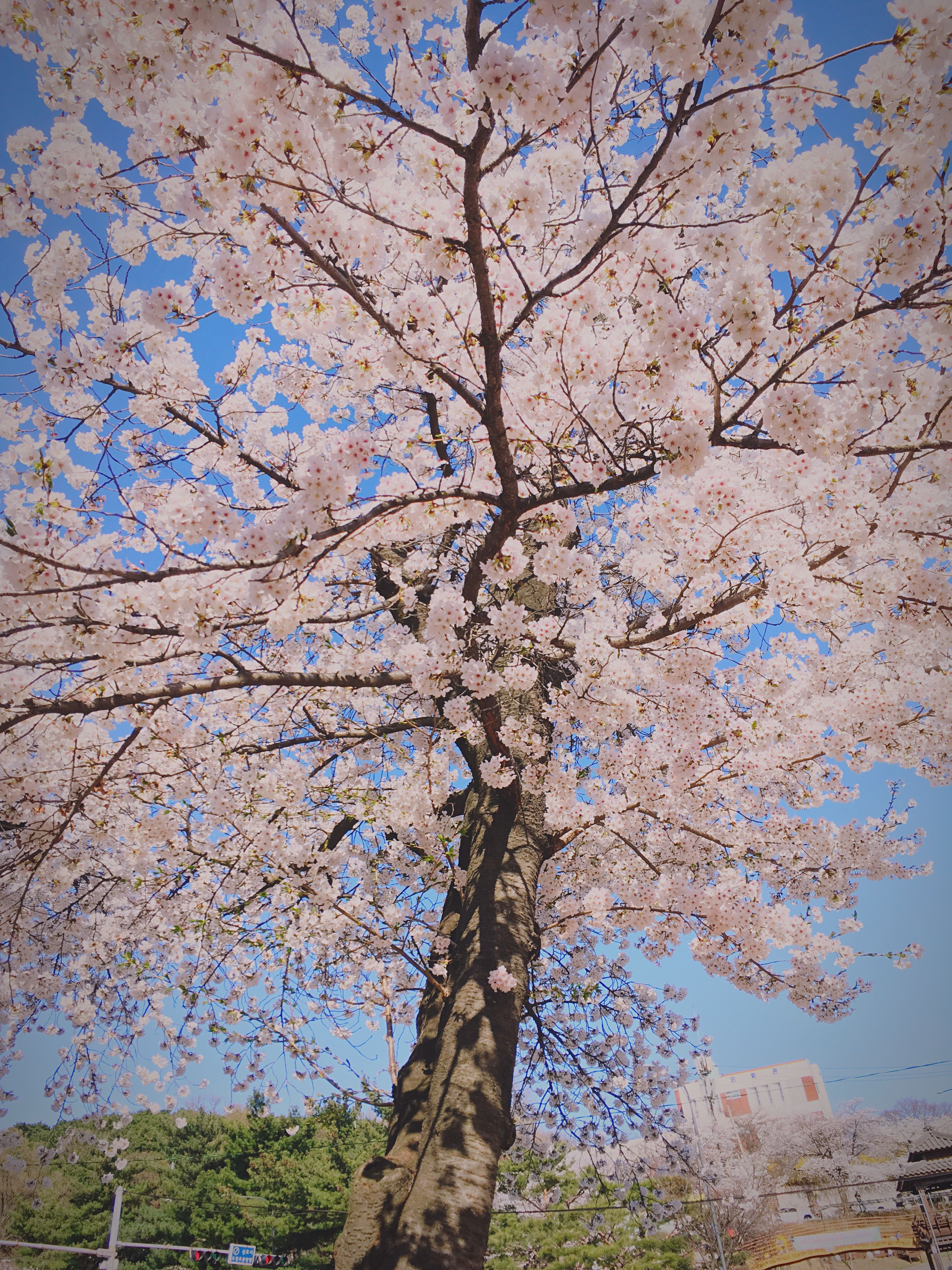 Art Is Everywhere Cherry Blossom Tree GYEONGGI PROVINCE Spring Is Coming
