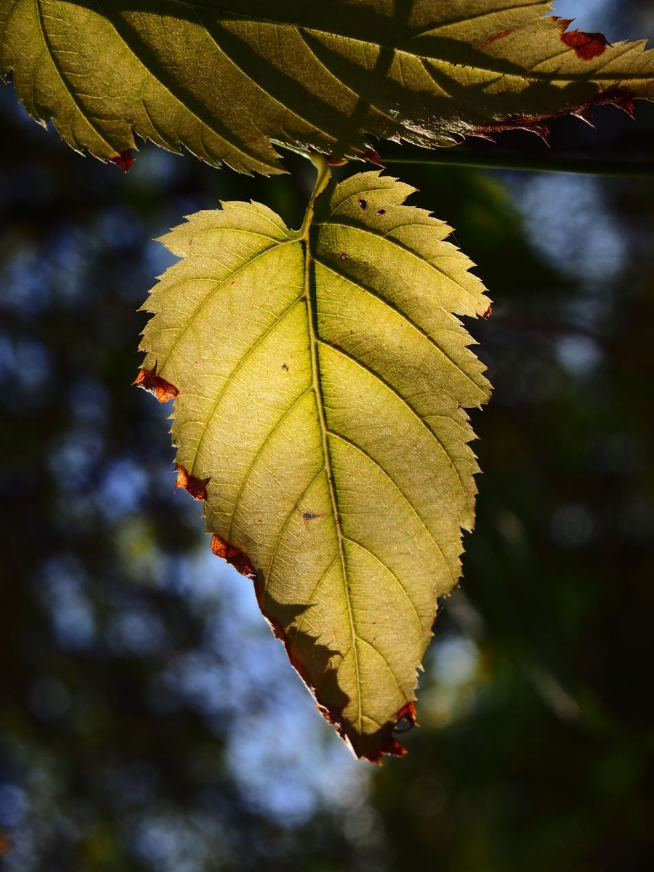 Autumn Beauty In Nature Branch Change Close-up Day Freshness Green Color Growth Leaf Nature No People Outdoors Plant Sunlight Tree