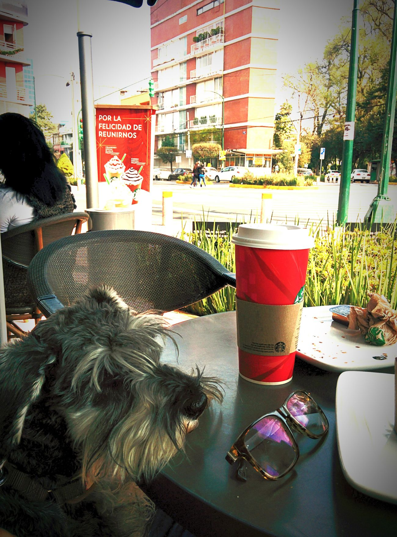 Schnauzer Lifedog Hanging Around Starbucks Coffee Time Candy