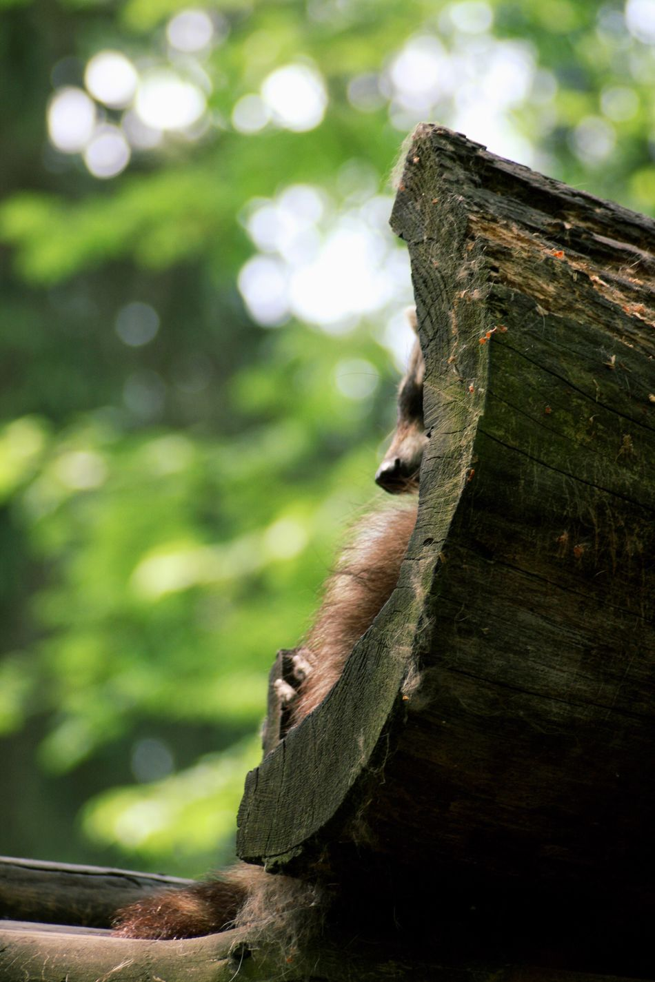 Wood - Material Tree Trunk Tree Raccon Relaxing Nature Animal Themes Log Close-up No People Day Tree Stump Outdoors One Animal Nose Canonphotography