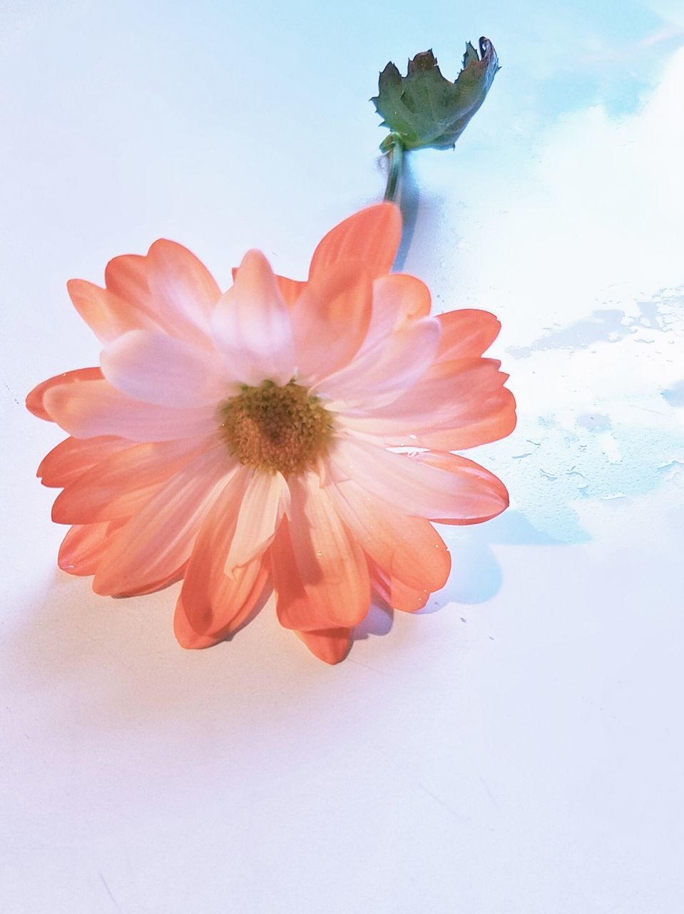 flower, beauty in nature, nature, petal, fragility, no people, freshness, flower head, growth, close-up, sky, outdoors, day, blooming, white background