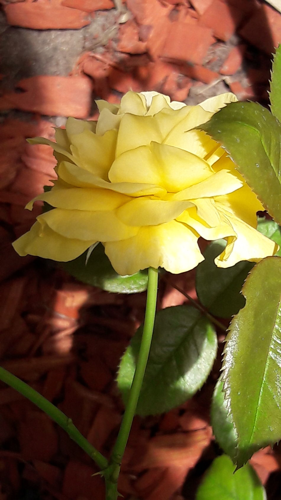 I'm blessed to have lovely flowers on my street. Yellow Leaf Close-up Flower Backgrounds Nature Plant Flower Head No People Day Outdoors Fragility Freshness Natural Environment Sunny Days Popular Photos Sunny Natural Light Roses On My Street