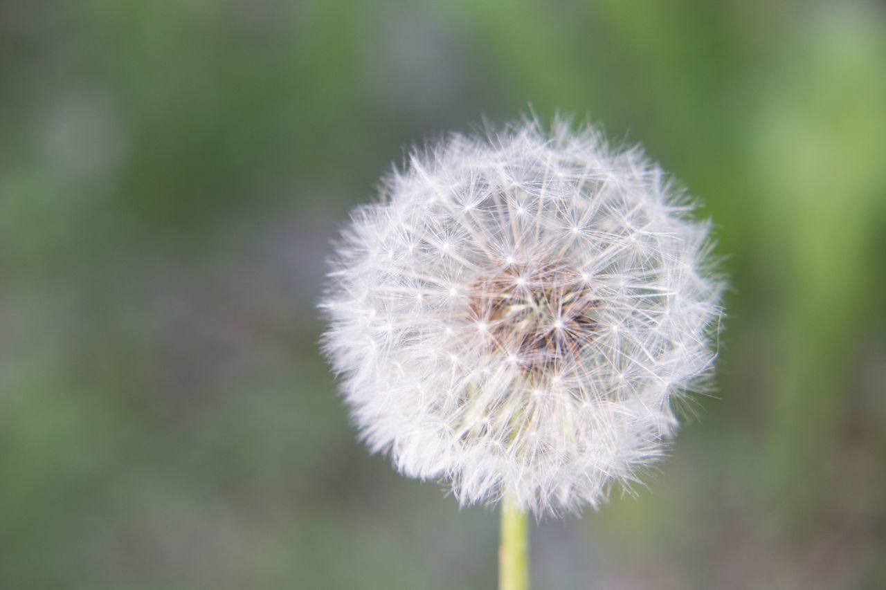 Beauty In Nature Close-up Dandelion Day Flower Flower Head Focus On Foreground Fragility Freshness Growth Nature No People Outdoors Plant Softness