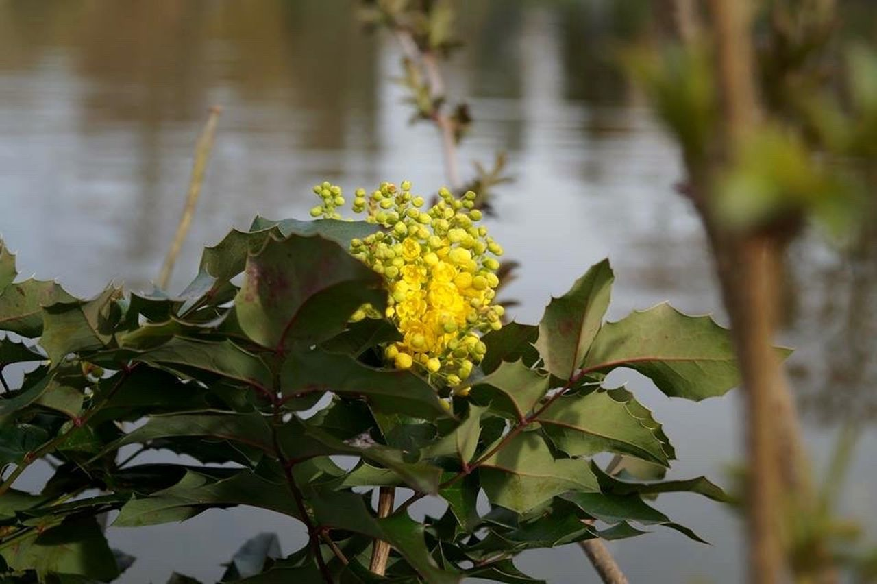 flower, nature, growth, beauty in nature, yellow, petal, fragility, leaf, plant, outdoors, blooming, freshness, green color, day, flower head, no people, close-up, water
