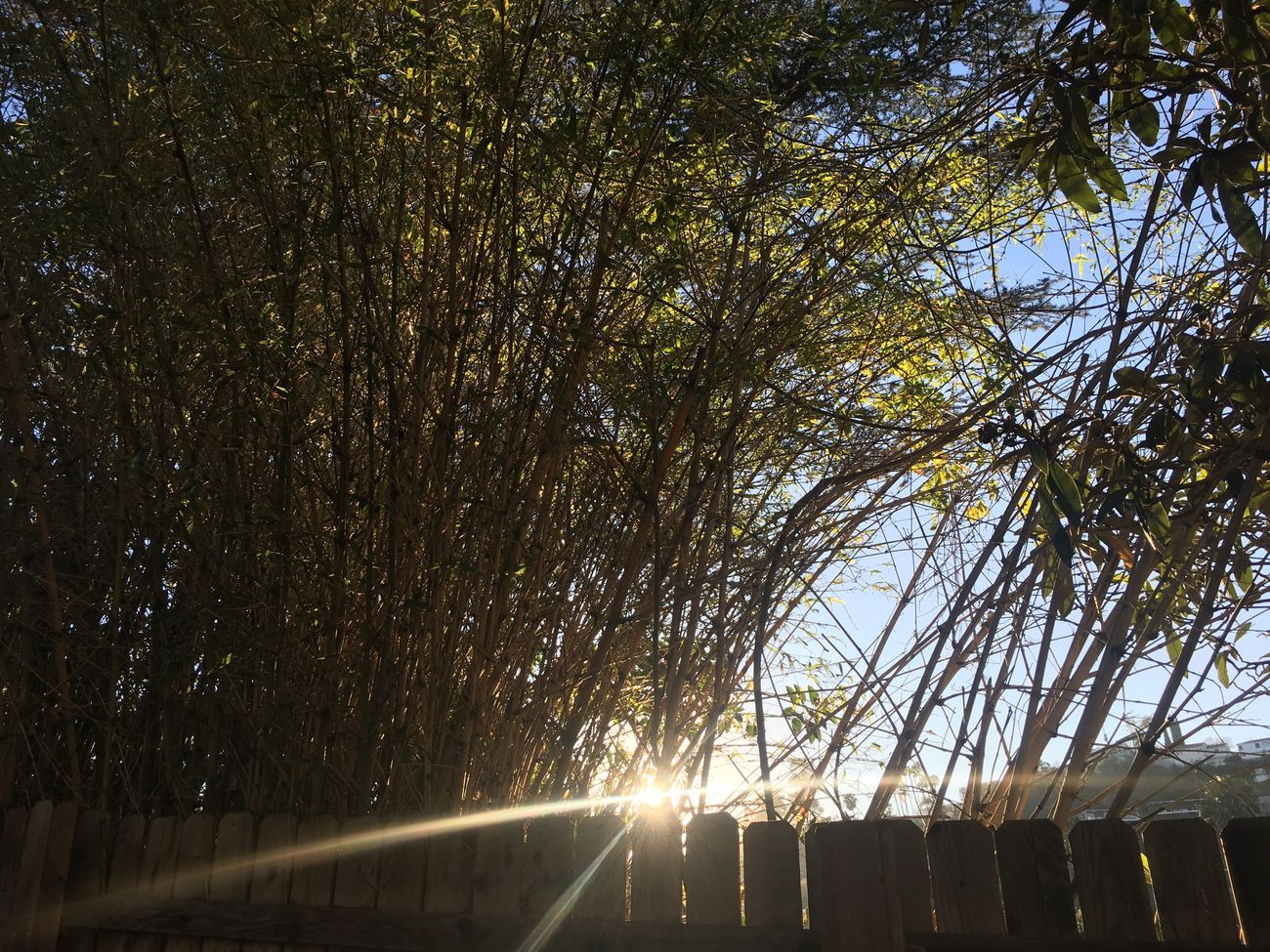 Tree Nature No People Road The Way Forward Growth Transportation Outdoors Beauty In Nature Scenics Bamboo Bamboo Grove California Sunbeam Sun Lens Flare Sunlight Golden Hour California Dreaming Tranquility Tranquil Scene Green Plants Sky Day