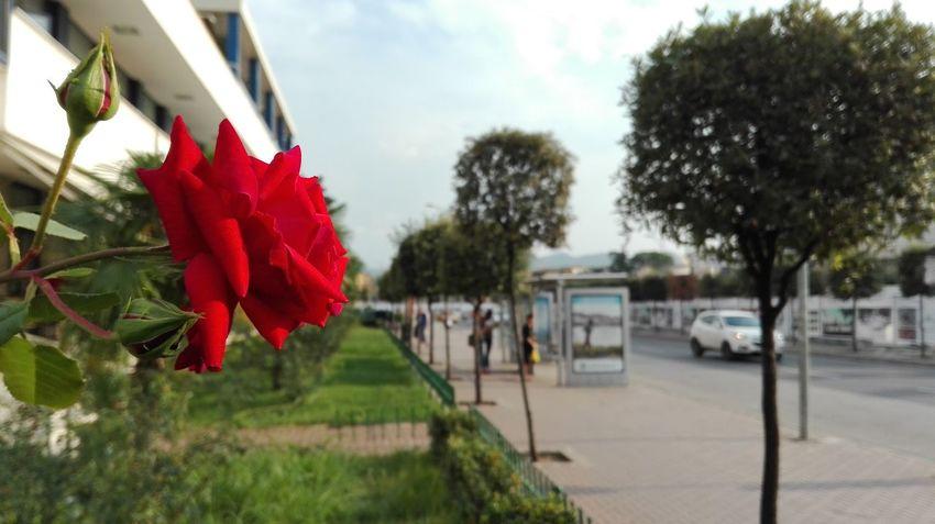 Flower Red Nature Tirane, Albania Red Rose 🌹