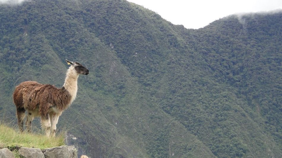 Beautiful stock photos of llama, Animal Themes, Animals In The Wild, Beauty In Nature, Brown