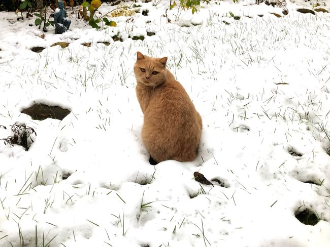 Cat December Garden Outdoors Day Nature No People Sitting Feline Domestic Animals Pets One Animal Cold Temperature Winter Domestic Cat Snow Mammal Animal Themes First Snow Shades Of Winter