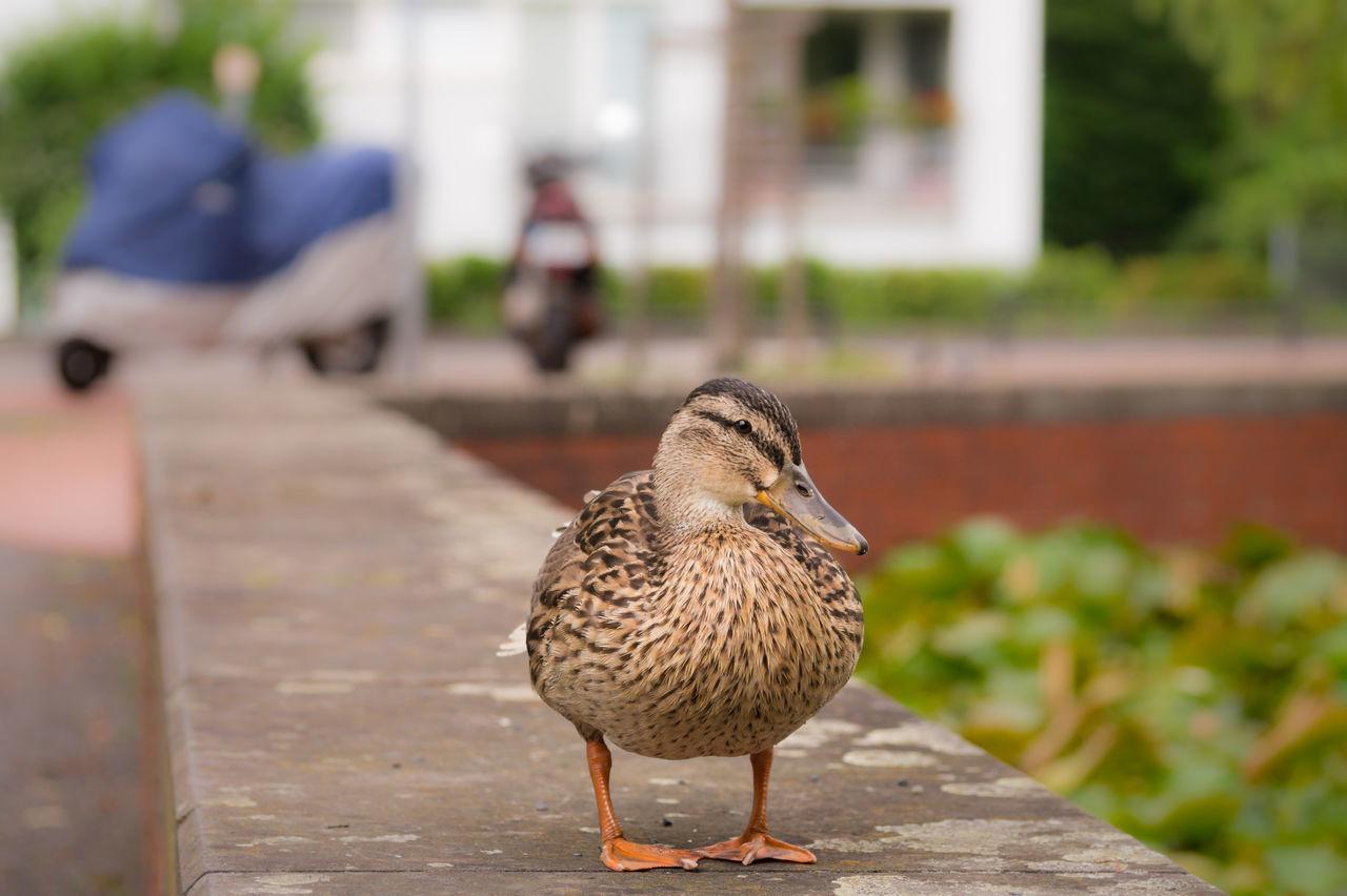 Beautiful stock photos of enten, Animal Themes, Animal Wildlife, Animals In The Wild, Avian