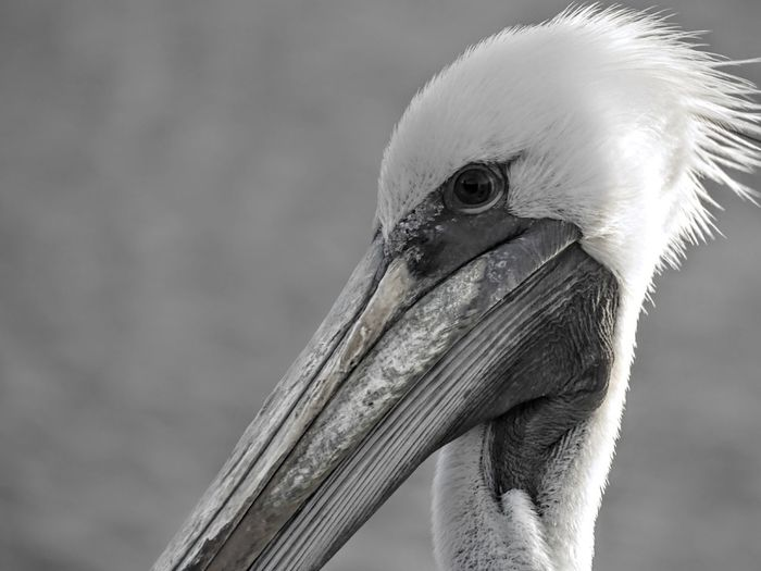Bird Animal Body Part Beak Animal Head  Close-up Portrait Looking At Camera Animal Wildlife Animals In The Wild Outdoors No People Day Nature Black Background Peru Perù 🇵🇪 Travel Destinations EyeEmNewHere Beauty In Nature Pelicans Sea Animal Themes Nature Animals In The Wild