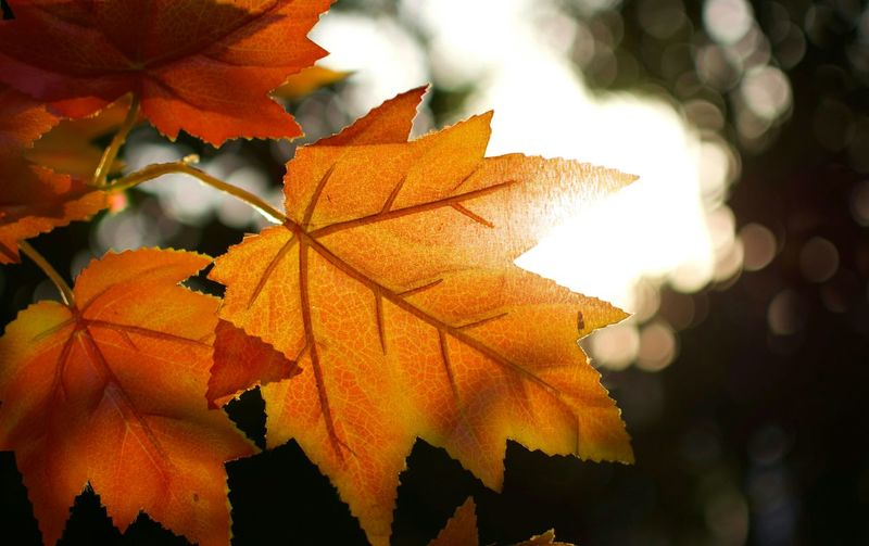 Autumn Leaf Beauty In Nature Orange Color Outdoors Maple Leaf Nature First Eyeem Photo Finding New Frontiers