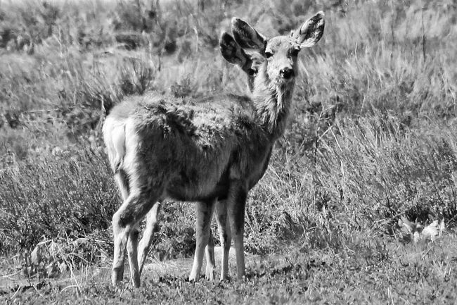 1 Or 2 Peeking Better Look Twice Deer Wildlife Nature Blackandwhite Animals Outdoors