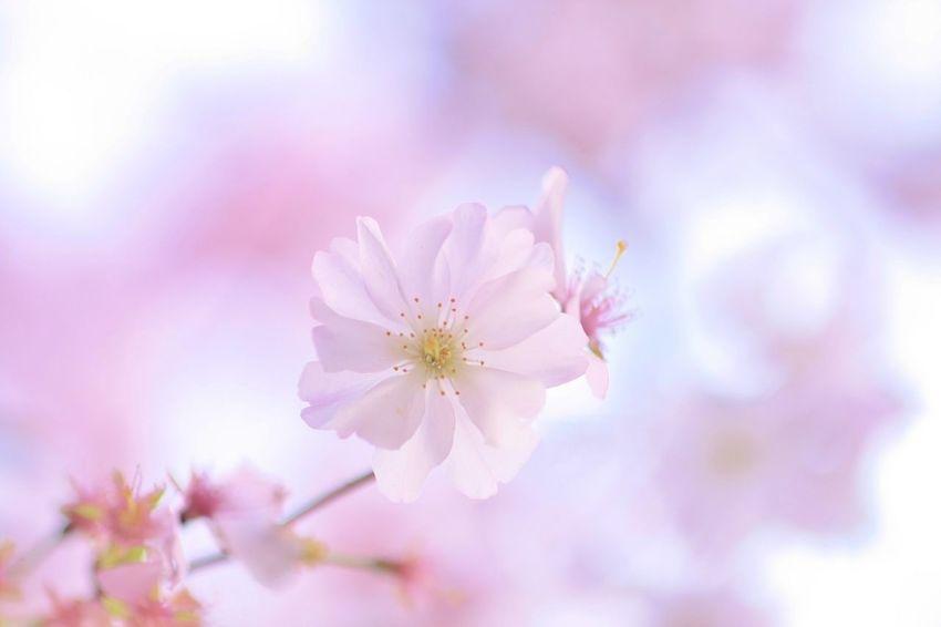 Cherry Blossoms France Paris Sakura お久しぶりです(*´∀`*) 後ほどゆっくりお写真見させて頂きます♩