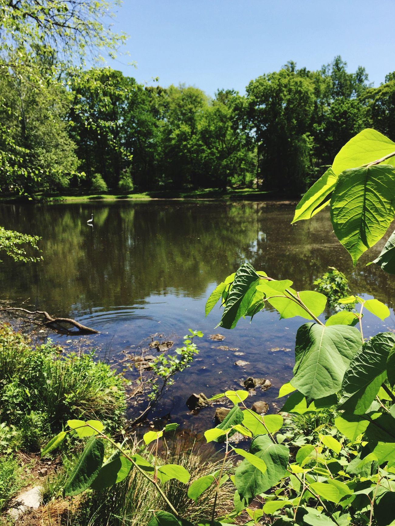 My NJ Walking Pond Green White Heron