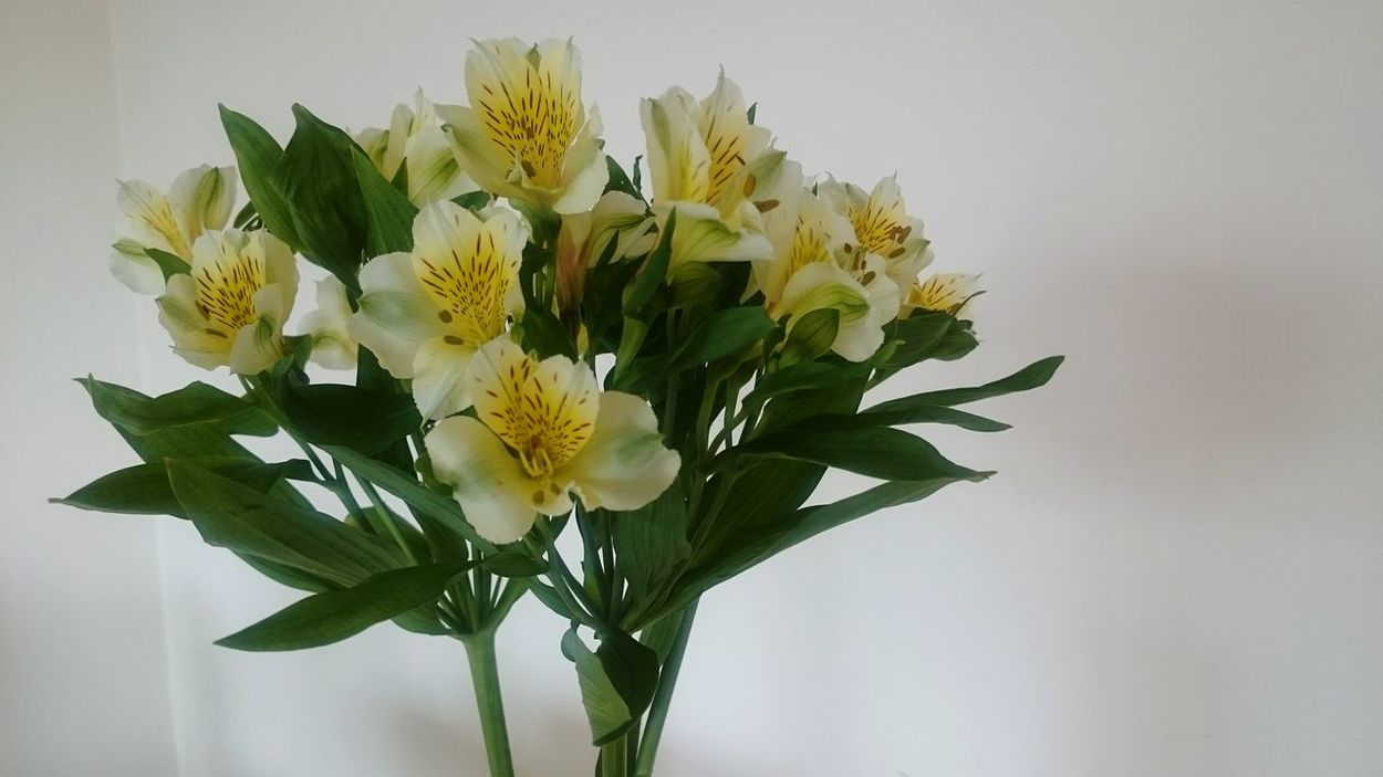 Peruvian Lillies 😊😊 Beauty In Nature Close-up Fragility Freshness Flower Vase Bunch Of Flowers White Background Blossom Petal Indoors  Beautiful Life Is Beautiful Colors Enjoying Life Insperation! Positive Vibes
