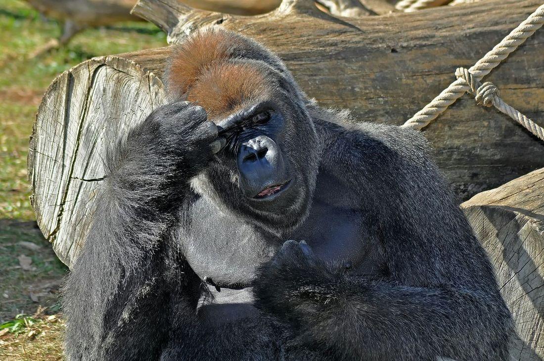 Gorilla Gorille Le Penseur Animals Animaux Zoo De La Palmyre France Photos Around You Portrait Face