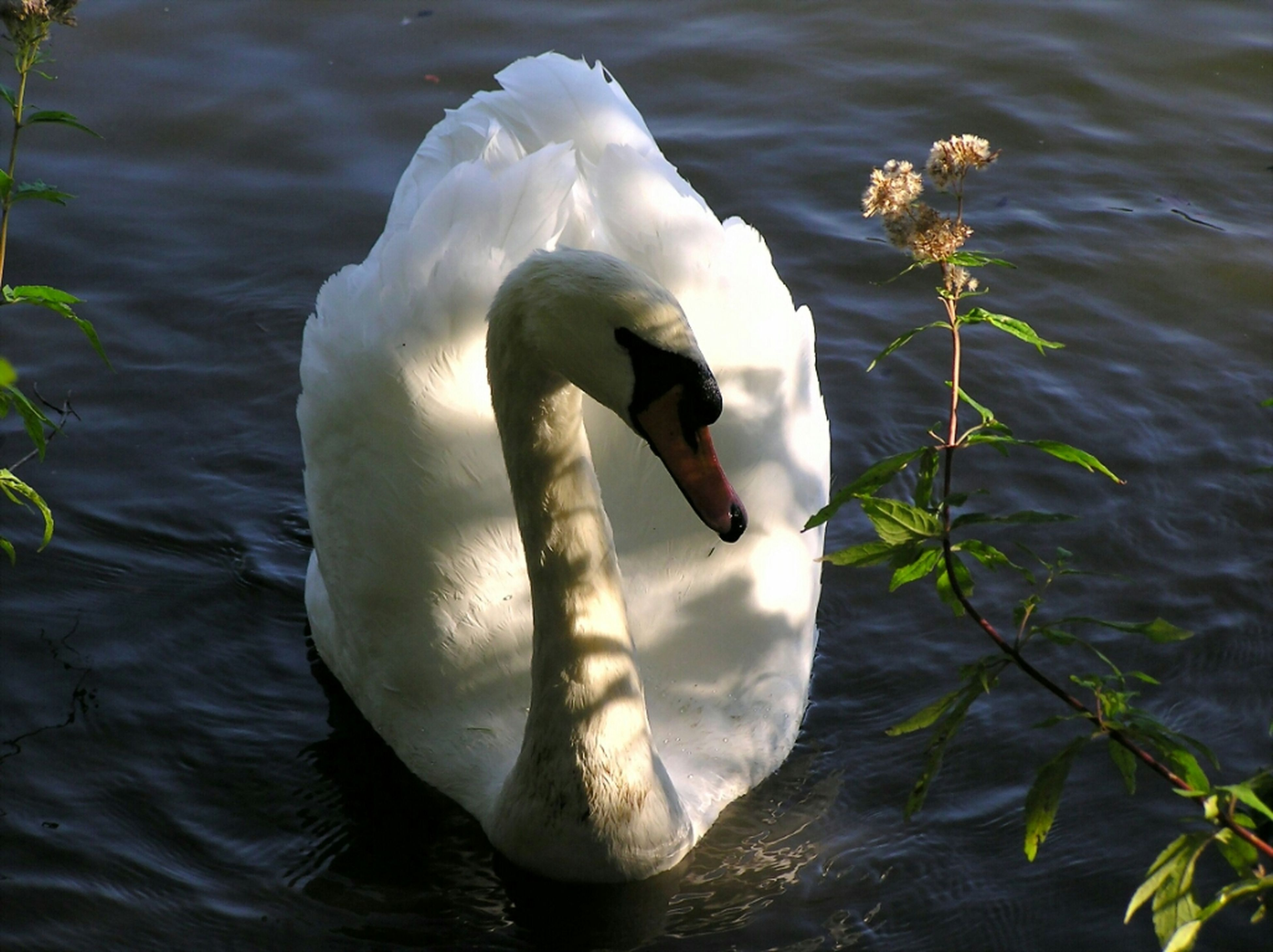 bird, animal themes, animals in the wild, wildlife, water, lake, swan, swimming, waterfront, white color, one animal, reflection, nature, water bird, beak, rippled, beauty in nature, floating on water, day, two animals