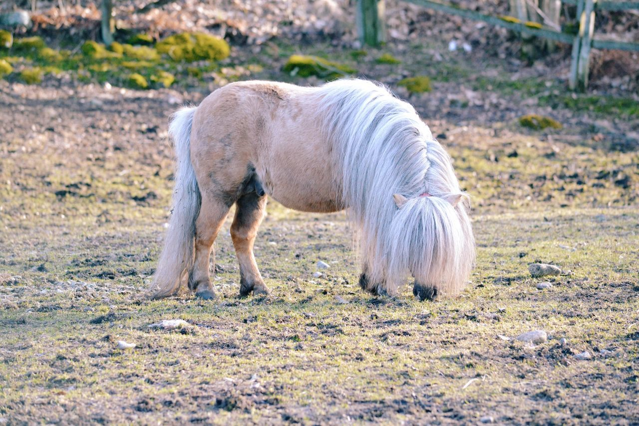 Pony One Animal Animal Themes Domestic Animals Animal Outdoors Field Day No People Standing Mammal Nature Horse Pony Cute Farm Farm Life Eating Mane