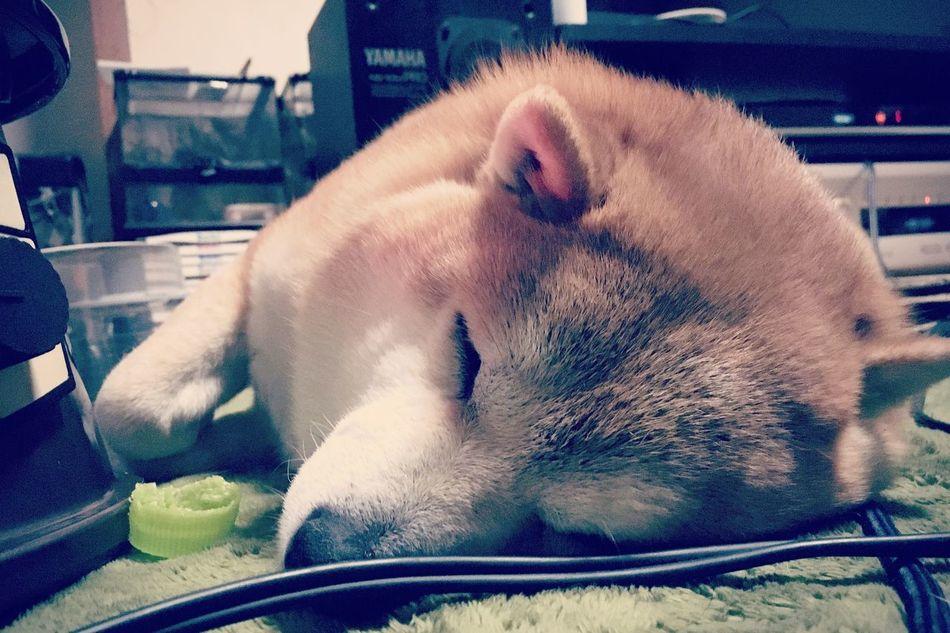 おやすみ あんず しばいぬ Shibainu Anzu