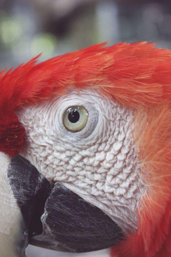 Ara Macao Macaw Red Macaw Parrot Eye4photography  Eye Em Best Shots Wrinkles