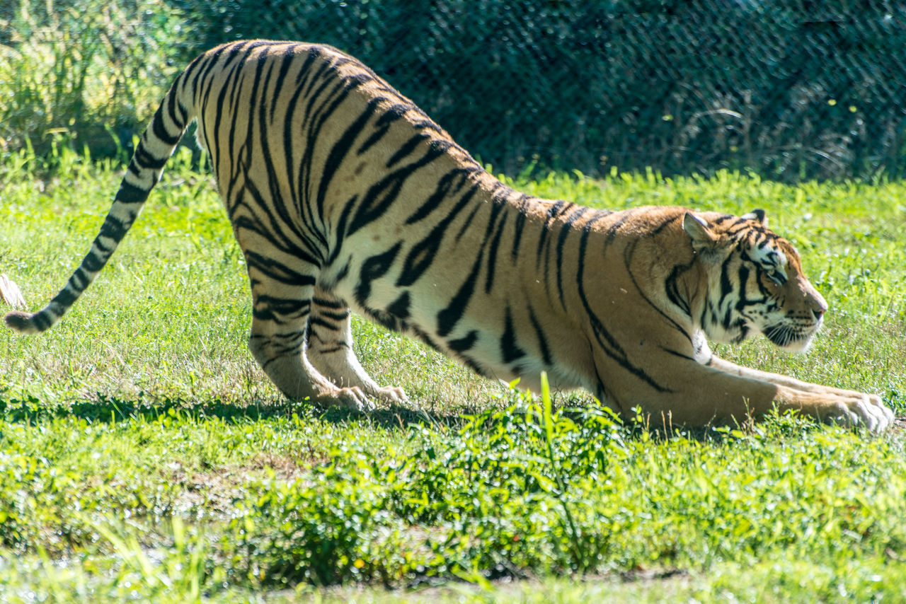 tiger in nature safari Animal Markings Close-up Day Fauna Feline Field Focus On Foreground Grass Grassy Mammal Nature Nature No People Outdoors Safari Sand Tiger